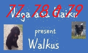 haiku-poetry walkus 77-79