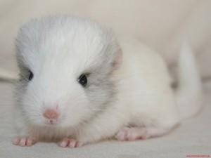 Cute white chinchilla (2)