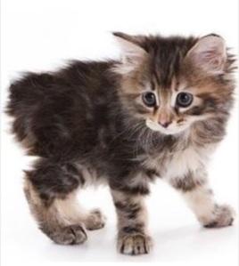 Manx(u) Cat